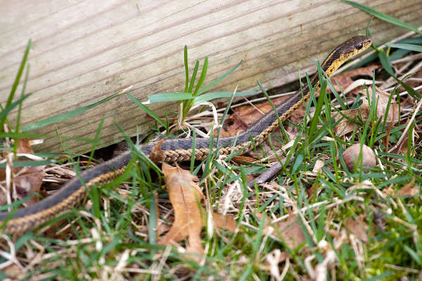 Garter Snake Stock photo © ArenaCreative