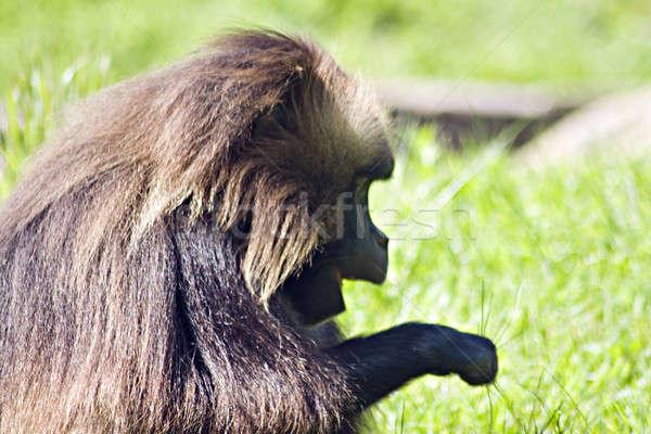 бабуин обезьяны зеленый области дерево лице Сток-фото © ArenaCreative