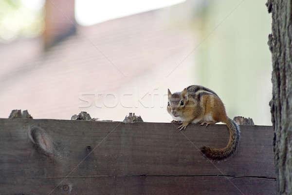 Chipmunk bonitinho pequeno em pé cerca floresta Foto stock © ArenaCreative