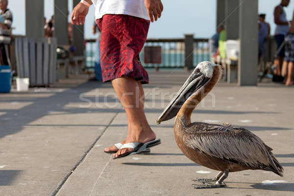 Brave Florida Pelican Stock photo © ArenaCreative