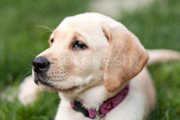 Bonitinho dourado labrador cachorro grama Foto stock © ArenaCreative