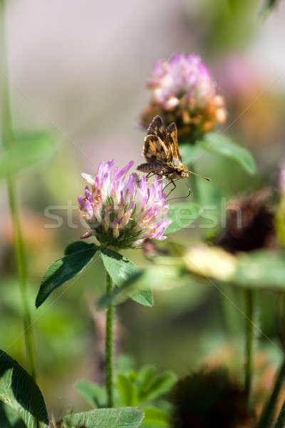 Moth Drinking Nectar Stock photo © ArenaCreative