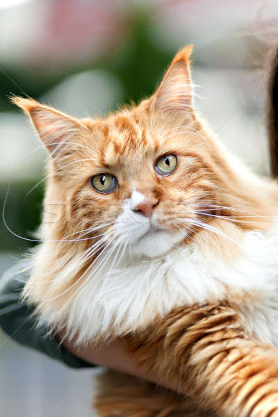 Maine Coon Cat Stock photo © ArenaCreative
