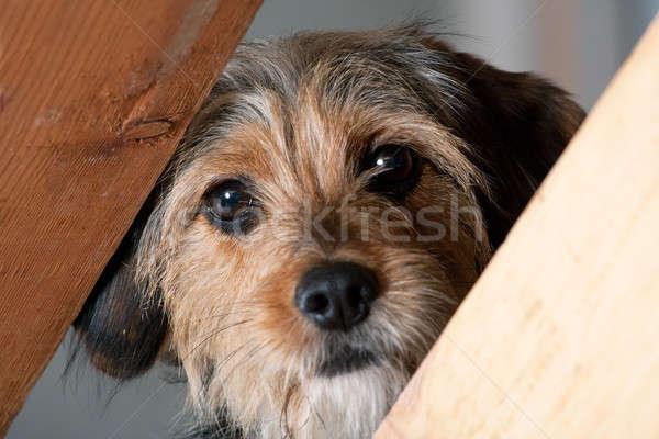 Cão lacuna jovem misto Foto stock © ArenaCreative