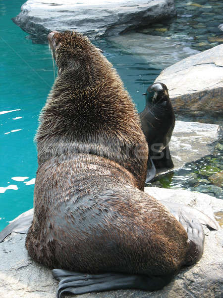 Seal and Sea Lion Stock photo © ArenaCreative