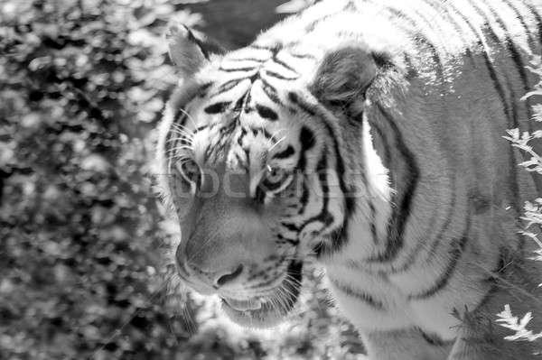 Tigris bősz feketefehér fa szem háttér Stock fotó © ArenaCreative