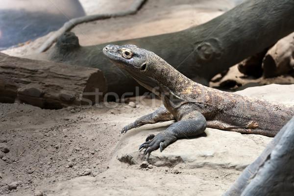 Ejderha sürüngen tehlikeli yırtıcı hayvan bekleme tropikal Stok fotoğraf © ArenaCreative