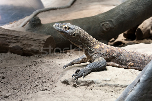 Komodo Dragon Reptile Stock photo © ArenaCreative