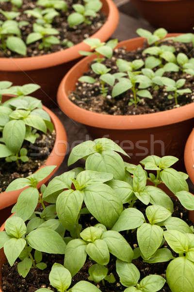 Potted Basil Plants Stock photo © ArenaCreative