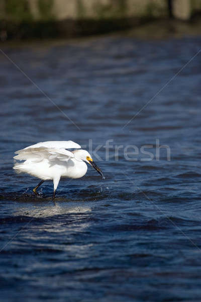 Snowy Egret Eating Fish Stock photo © ArenaCreative