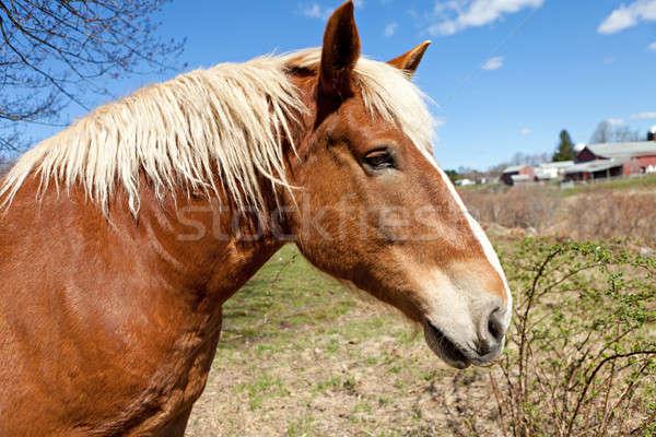 Beautiful Brown Horse Stock photo © ArenaCreative