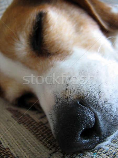 Assonnato beagle naso macro shot dormire Foto d'archivio © ArenaCreative