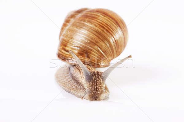 Lumaca commestibile isolato sfondi bianchi natura shell Foto d'archivio © Ariusz