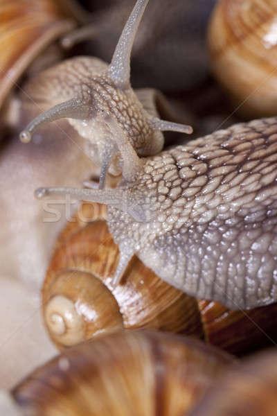 Salyangoz yenilebilir en iyi doğa kabuk Stok fotoğraf © Ariusz