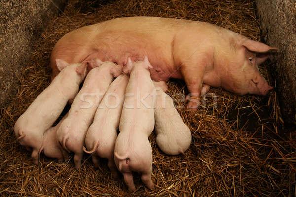 свинья семьи фермы жизни смешные белый Сток-фото © Ariusz