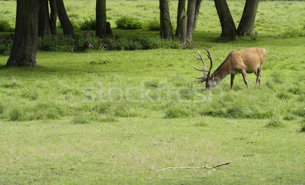 Stag Stock photo © Ariusz
