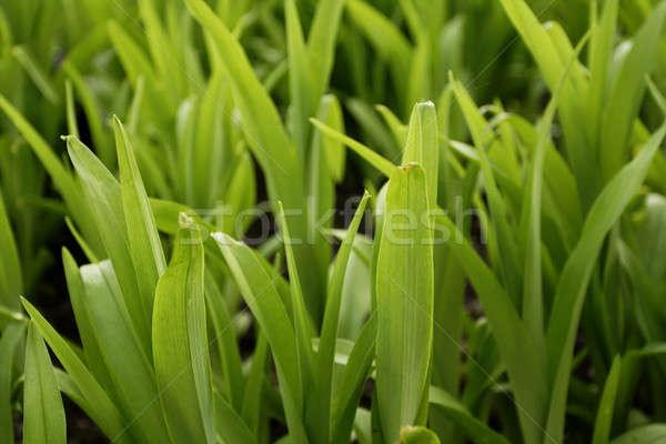 Grass 1 Stock photo © Ariusz
