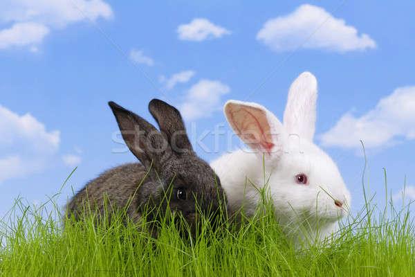 Paskalya tavşan gökyüzü çim çiftlik tavşan Stok fotoğraf © Ariusz