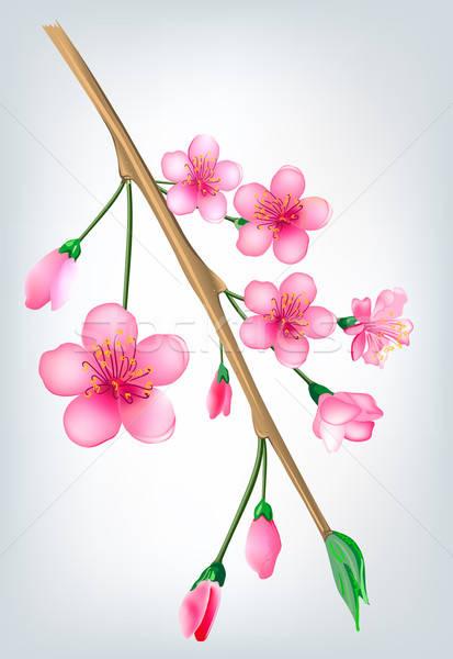 Sakura japoński wiśniowe drzewo kwiaty charakter Zdjęcia stock © arlatis