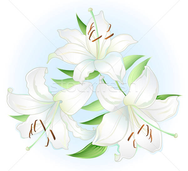White lilly  Stock photo © arlatis