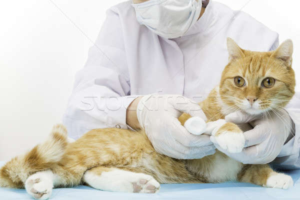 Stock photo: doctor treatens cat