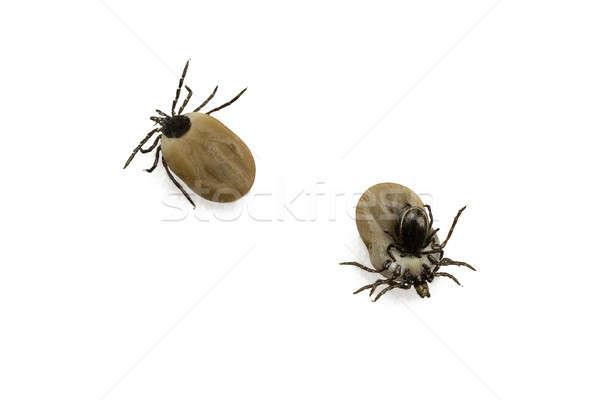 ticks Stock photo © armin_burkhardt