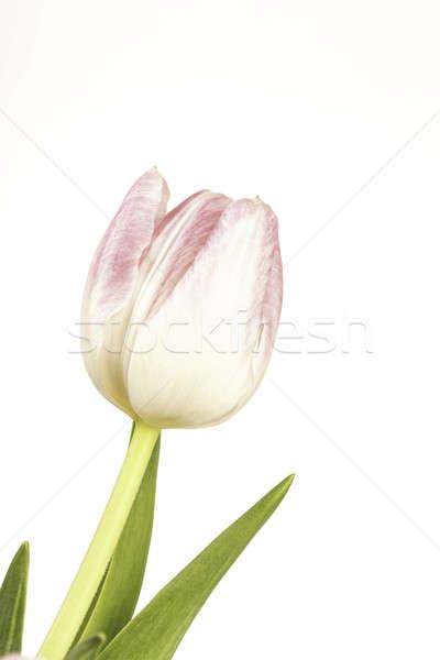 Egy virág rózsa fehér virág áll egyedül Stock fotó © armin_burkhardt
