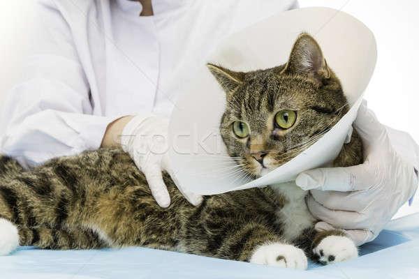 虎 猫 医師 室 白 動物 ストックフォト © armin_burkhardt