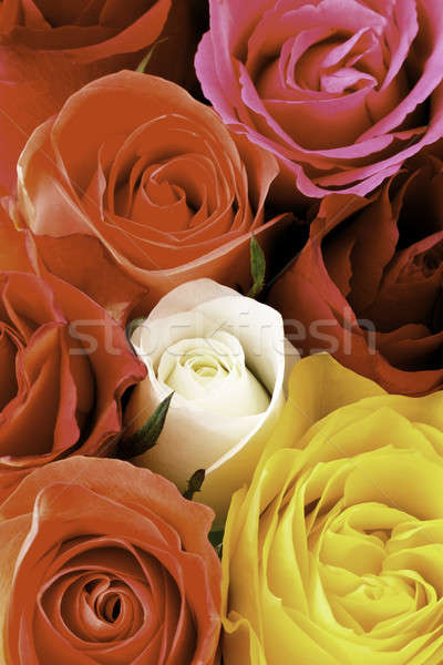 Macro colorful rose petals Stock photo © armin_burkhardt