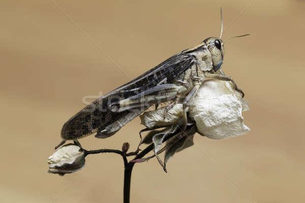 グラスホッパー 白 バラ 座って オフ ストックフォト © armin_burkhardt