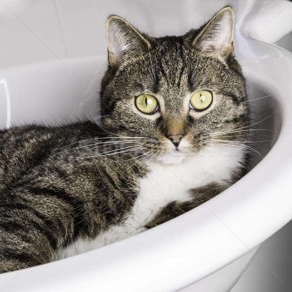 猫 見える 外に シンク 虎 リラックス ストックフォト © armin_burkhardt