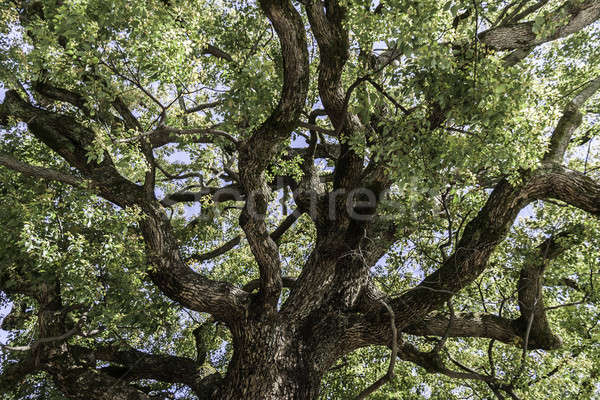 mighty tree crown Stock photo © armin_burkhardt