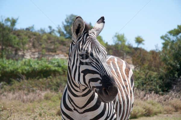 Zèbre mammifère herbivore Photo stock © arocas