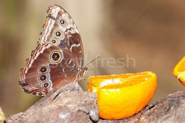 owl butterfly Stock photo © arocas