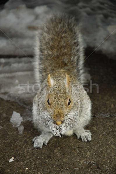 écureuil peu Rock manger fruits forêt Photo stock © arocas