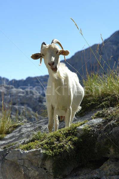 Keçi taş duvar karşı kamera çim dağ Stok fotoğraf © arocas