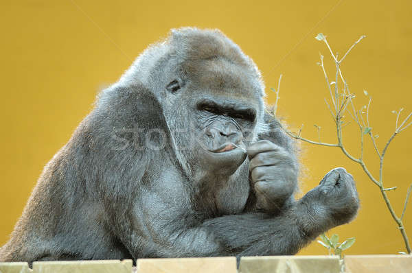 Parc gorille main cheveux bouche usine Photo stock © arocas