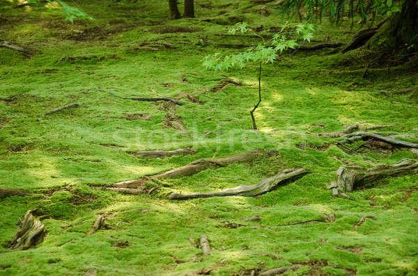 Wurzeln · wald · stock · teppich · grünen · bäume  stock