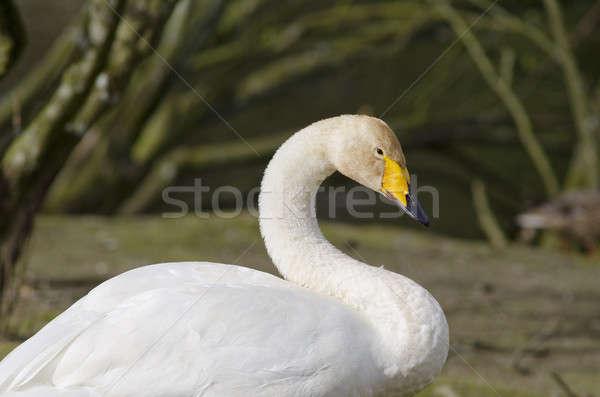 Cisne cabeça corpo água pássaro lago Foto stock © Arrxxx