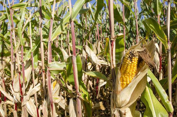 Corn plant  Stock photo © Arrxxx