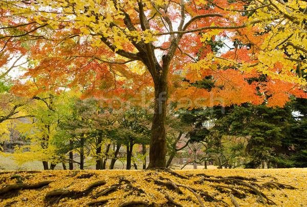 Foto stock: Japonês · bordo · árvore · outono · amarelo · folhas