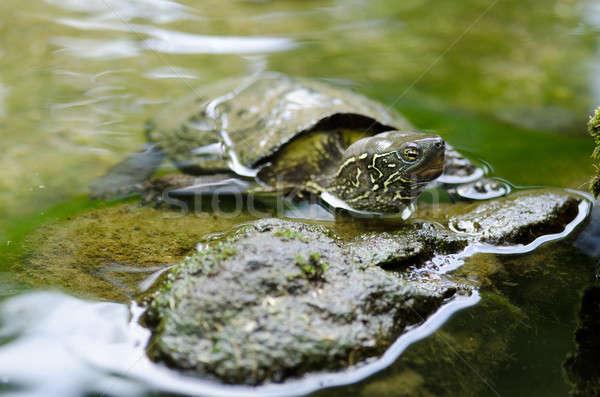 Chinesisch Teich Schildkröte Sitzung Stein Wasser Stock foto © Arrxxx