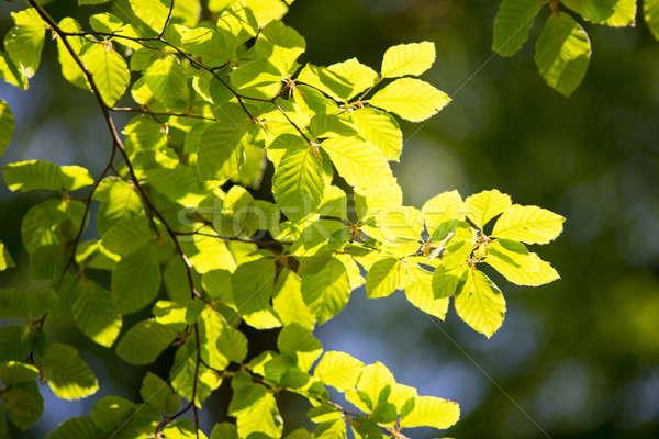 Tak boom bladeren voorjaar hemel Stockfoto © Arrxxx