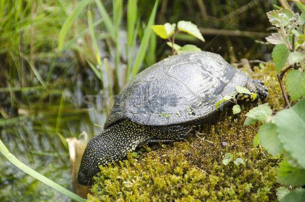 European pond turtle Stock photo © Arrxxx