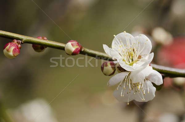 Plum flowers Stock photo © Arrxxx