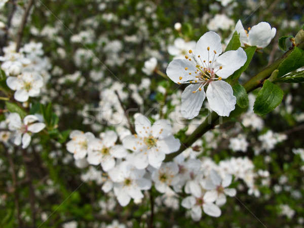Blackthorn blooming, Prunus spinosa Stock photo © Arrxxx