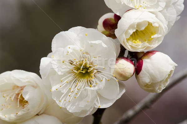 Plum flowers Stock photo © Arrxxx