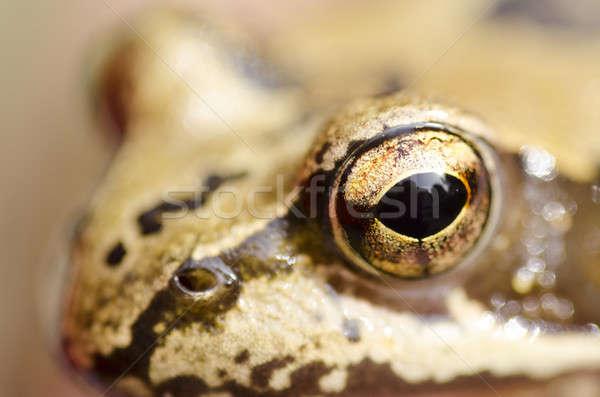 Cabeça foco olho floresta retrato sapo Foto stock © Arrxxx