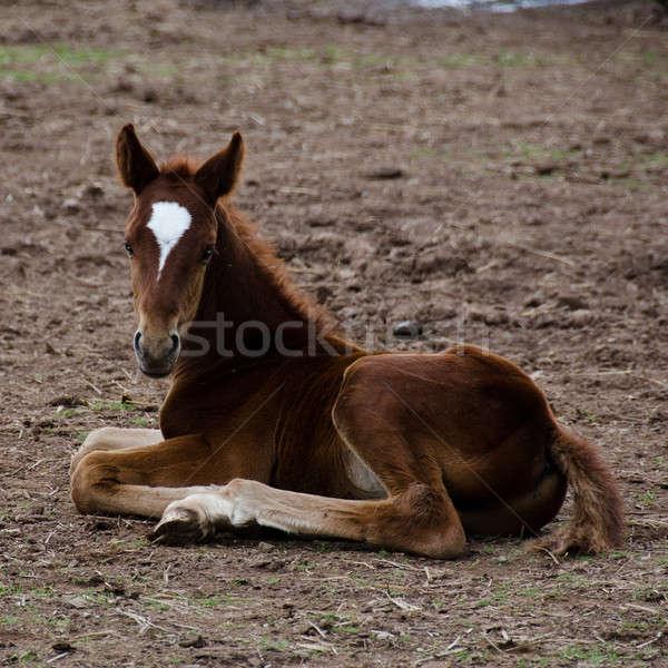 Horse foal sitting on the ground Stock photo © Arrxxx