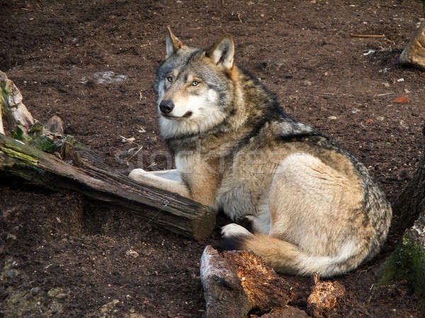 Gray Wolf, Canis lupus Stock photo © Arrxxx